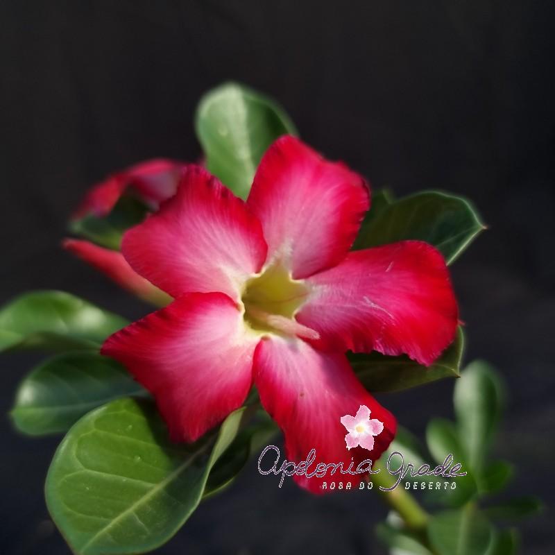 ROSA DO DESERTO PRECOCE , PLANTA JOVEM FLORIDA 064