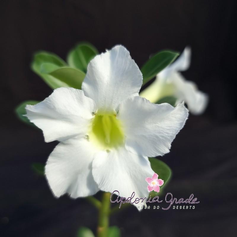 ROSA DO DESERTO PRECOCE , PLANTA JOVEM FLORIDA 065
