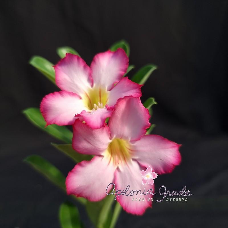 ROSA DO DESERTO PRECOCE , PLANTA JOVEM FLORIDA 075