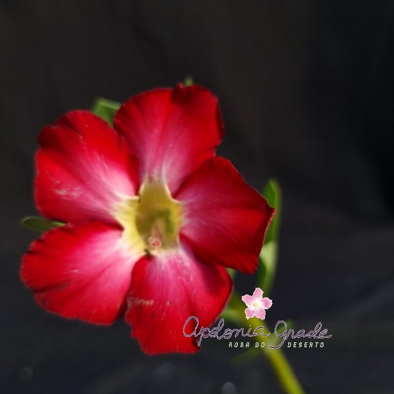 ROSA DO DESERTO PRECOCE , PLANTA JOVEM FLORIDA 076