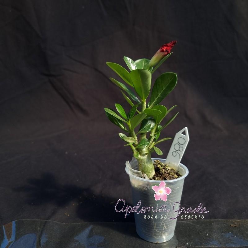ROSA DO DESERTO PRECOCE, PLANTA JOVEM FLORIDA 086