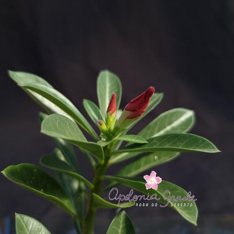 ROSA DO DESERTO PRECOCE, PLANTA JOVEM FLORIDA 087