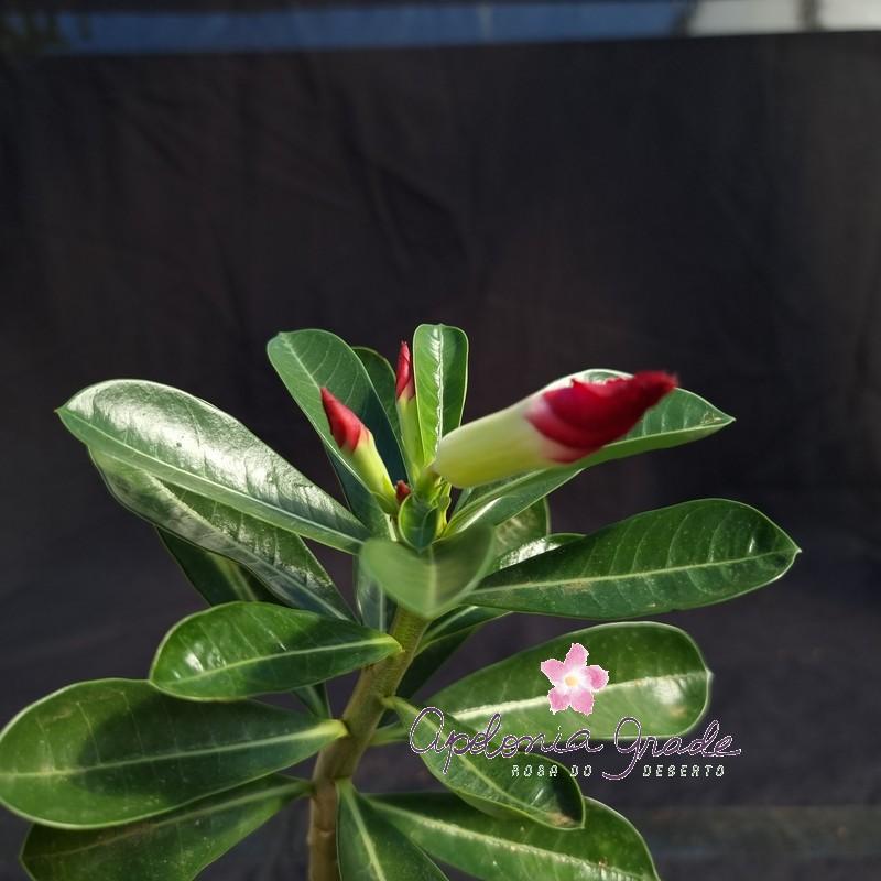 ROSA DO DESERTO PRECOCE, PLANTA JOVEM FLORIDA 091
