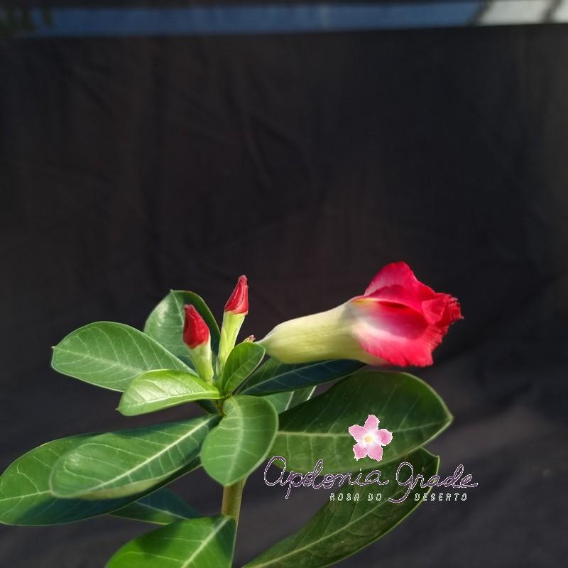 ROSA DO DESERTO PRECOCE, PLANTA JOVEM FLORIDA 093