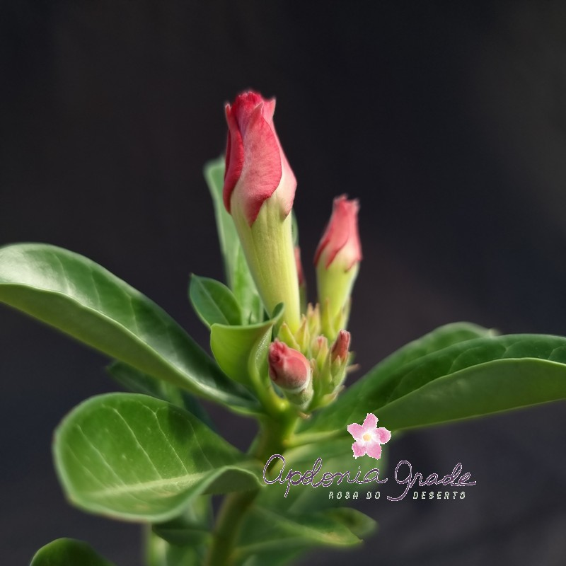 ROSA DO DESERTO PRECOCE, PLANTA JOVEM FLORIDA 102