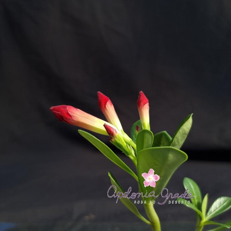 ROSA DO DESERTO PRECOCE, PLANTA JOVEM FLORIDA 103