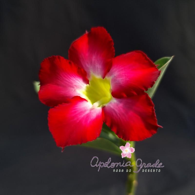 ROSA DO DESERTO PRECOCE, PLANTA JOVEM FLORIDA 106