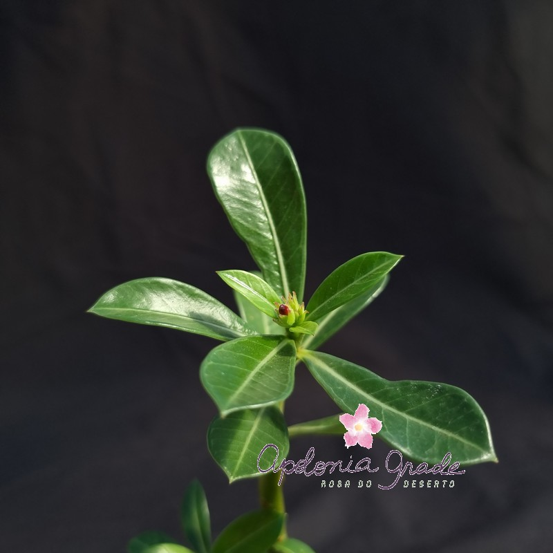ROSA DO DESERTO PRECOCE, PLANTA JOVEM FLORIDA 108