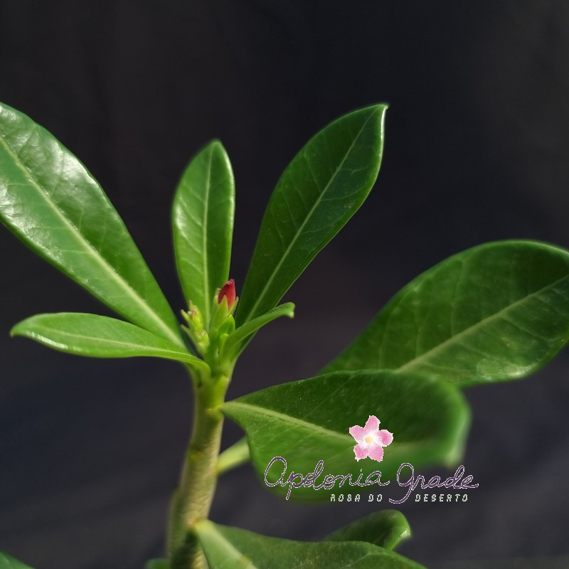 ROSA DO DESERTO PRECOCE, PLANTA JOVEM FLORIDA 116