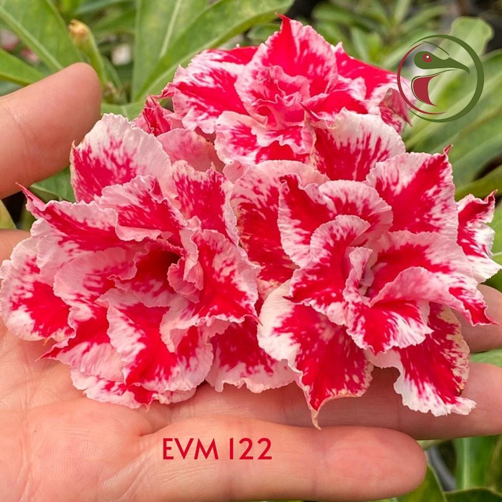 ROSA DO DESERTO SORVETE, MULTIPETALAS, (EVM122)