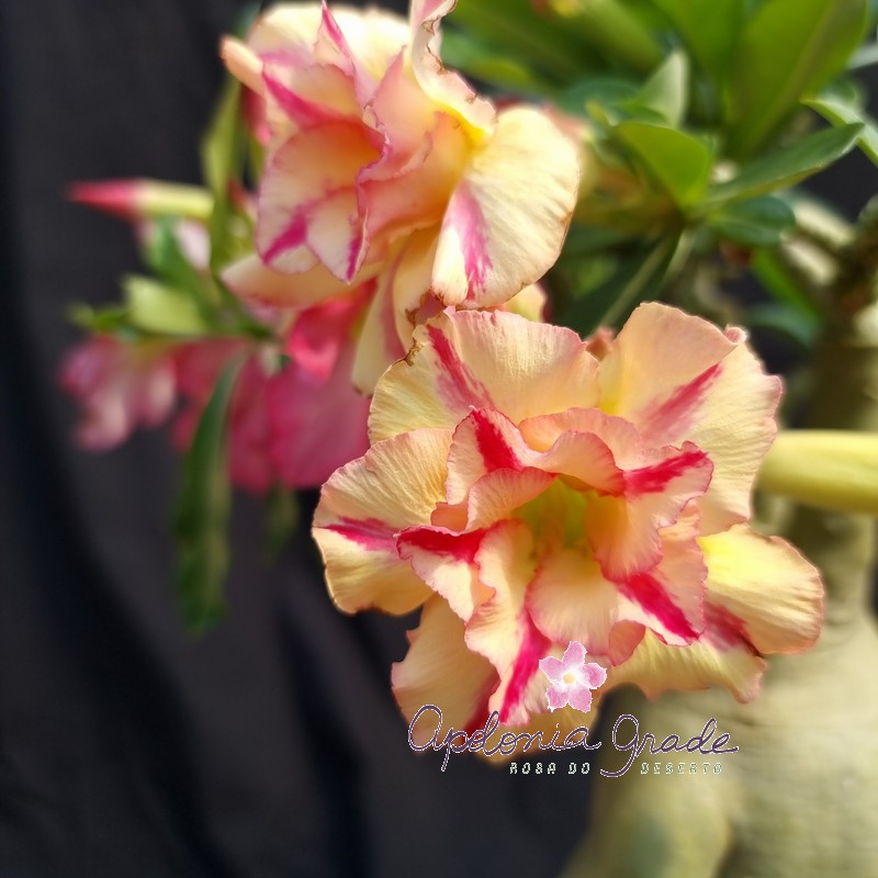 ROSA DO DESERTO YELLOW SUBMARINE, DOBRADA - PLANTA SELECT 164