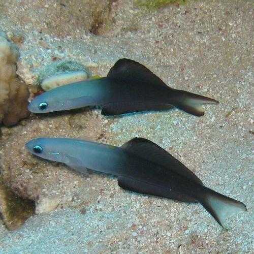 Blackfin Dartfish