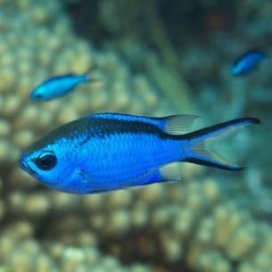 Blue Chromis -P