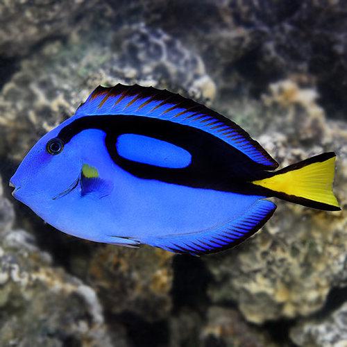 Blue Tang - M