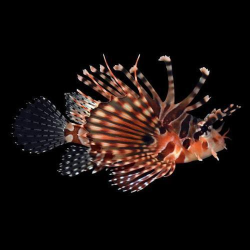 Lionfish Zebra - P