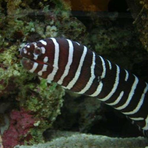 Moreia Zebra