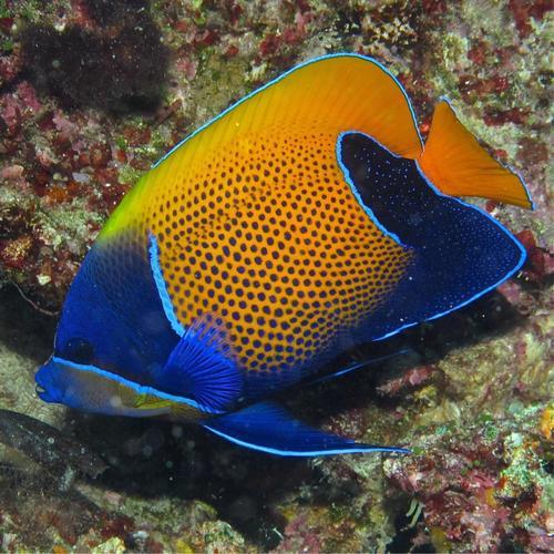 Navarchus Angelfish - M