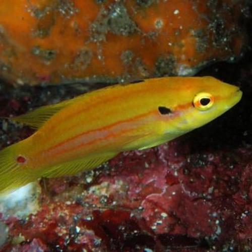 Twospot Hogfish - M