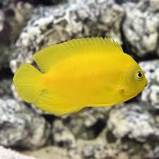Yellow Angelfish - M