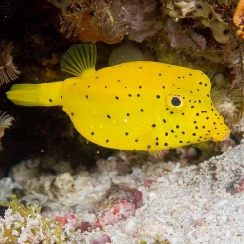 Yellow Boxfish - P