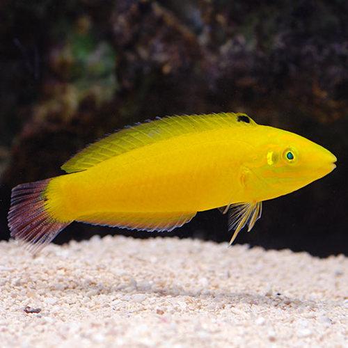 Yellow Coris