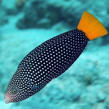 Yellow Tail Tamarin