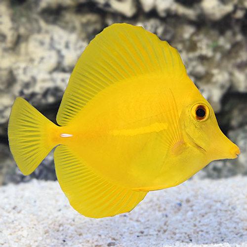 Yellow Tang - P