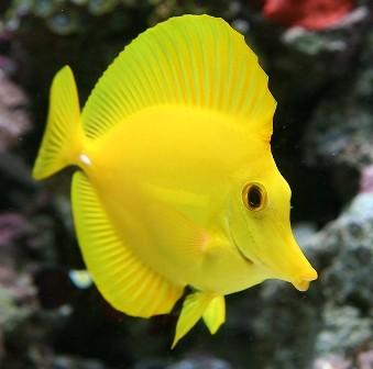Yellow Tang (Zebrasoma flavecens)