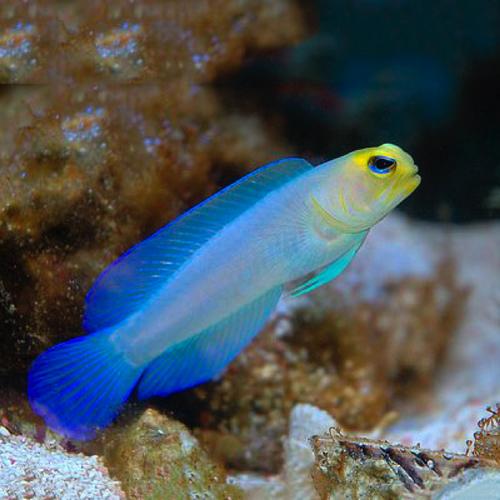 Yellowhead Jawfish - M