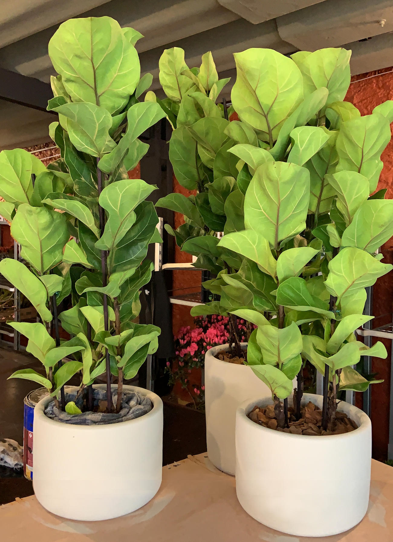 Vaso Ficus Lyrata