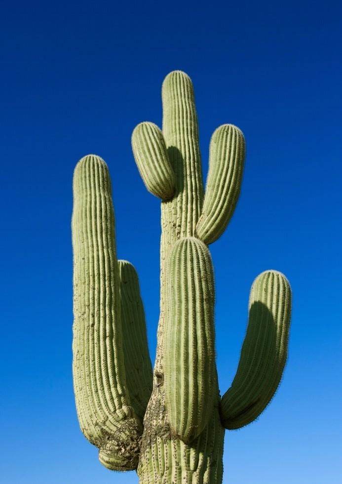 Pôster Blue Cactus