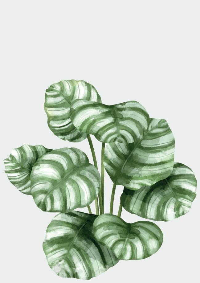 Pôster Calathea Orbifolia