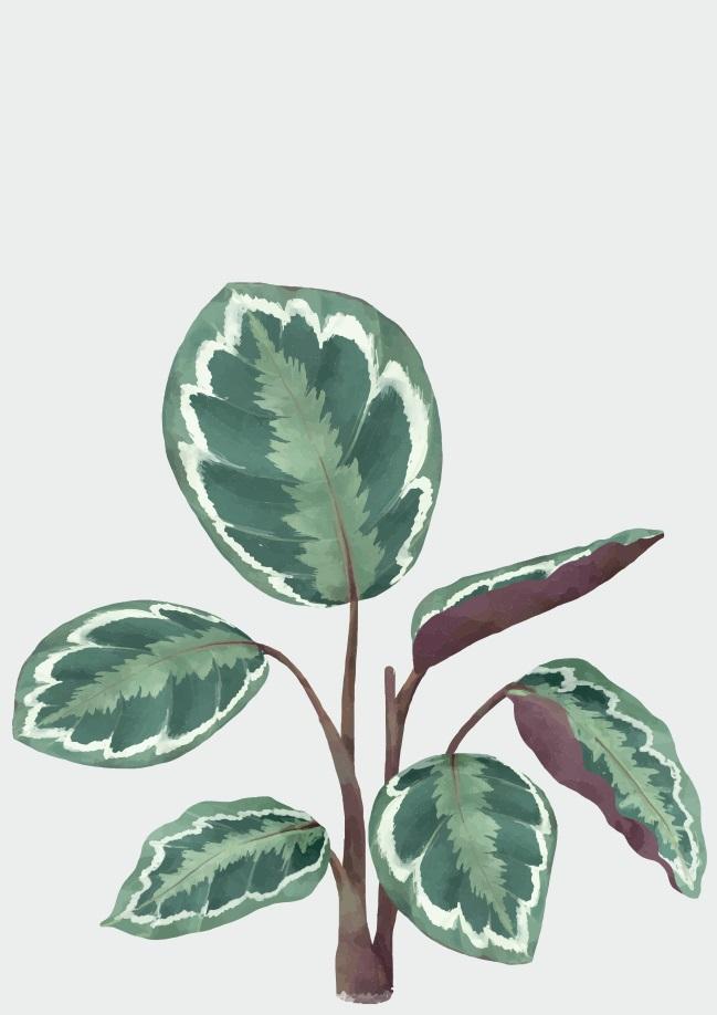 Pôster Calathea Roseopicta