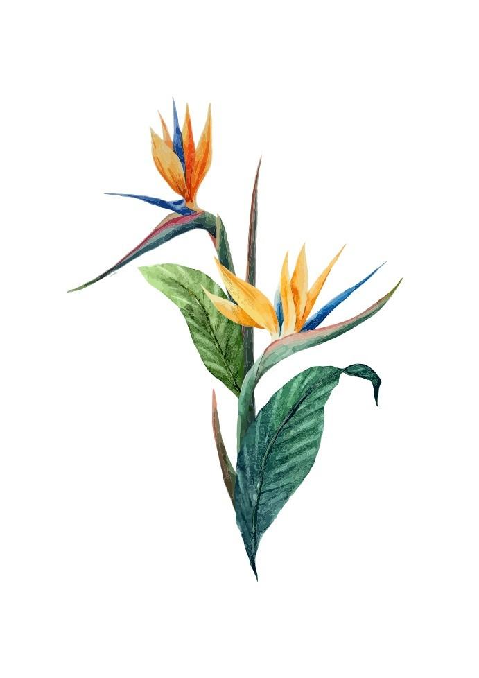 Pôster Strelitza Flower