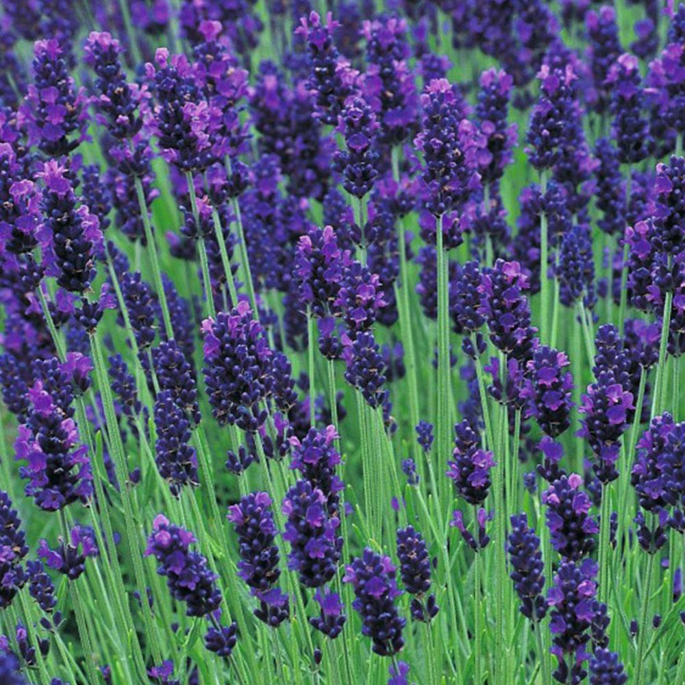 Chá de Alfazema Azul - Lavandula angustifolia - 50g