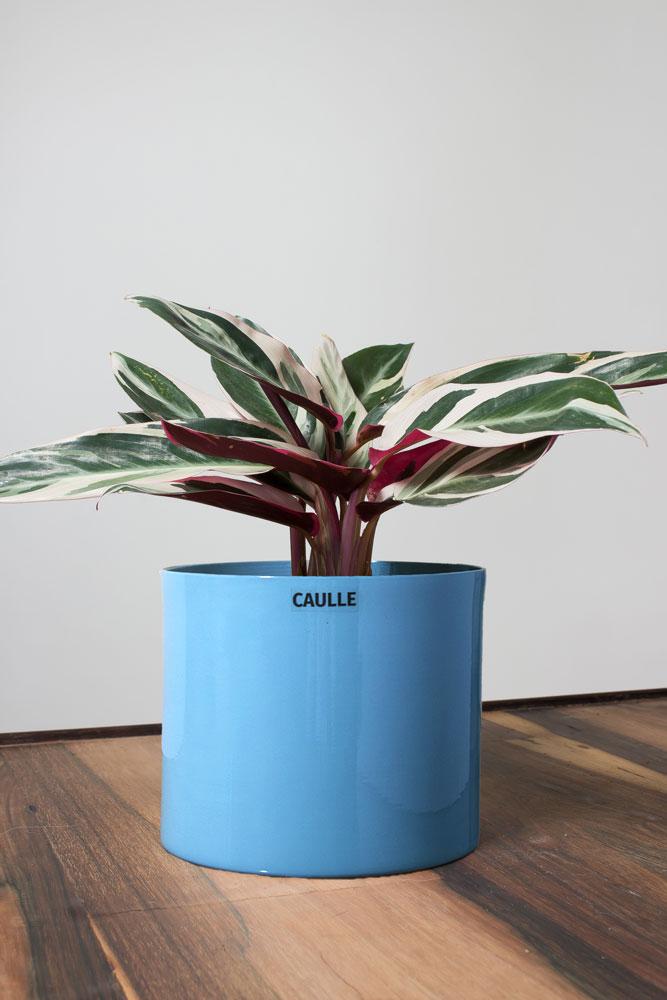 Maranta Tricolor Caulle Plantas Para Apartamento