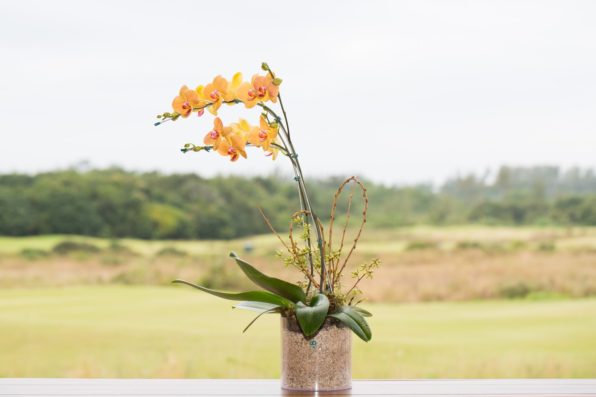 Orquídea Champagne