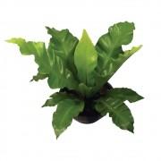 Asplênio - Asplenium nidus