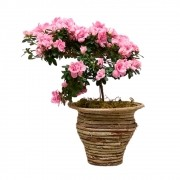 Azaleia - Rhododendron simsii