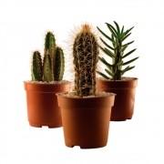 Cactos Mini - Cactus