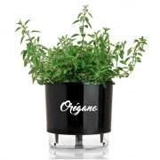 Orégano - Origanum vulgare