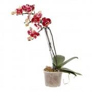 Orquídea borboleta - Phalaenopsis