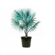 Palmeira Azul - Bismarckia nobilis