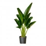 Palmeira Ravenala - Ravenala madagascariensis