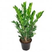 Zamioculcas - Zamioculcas zamiifolia