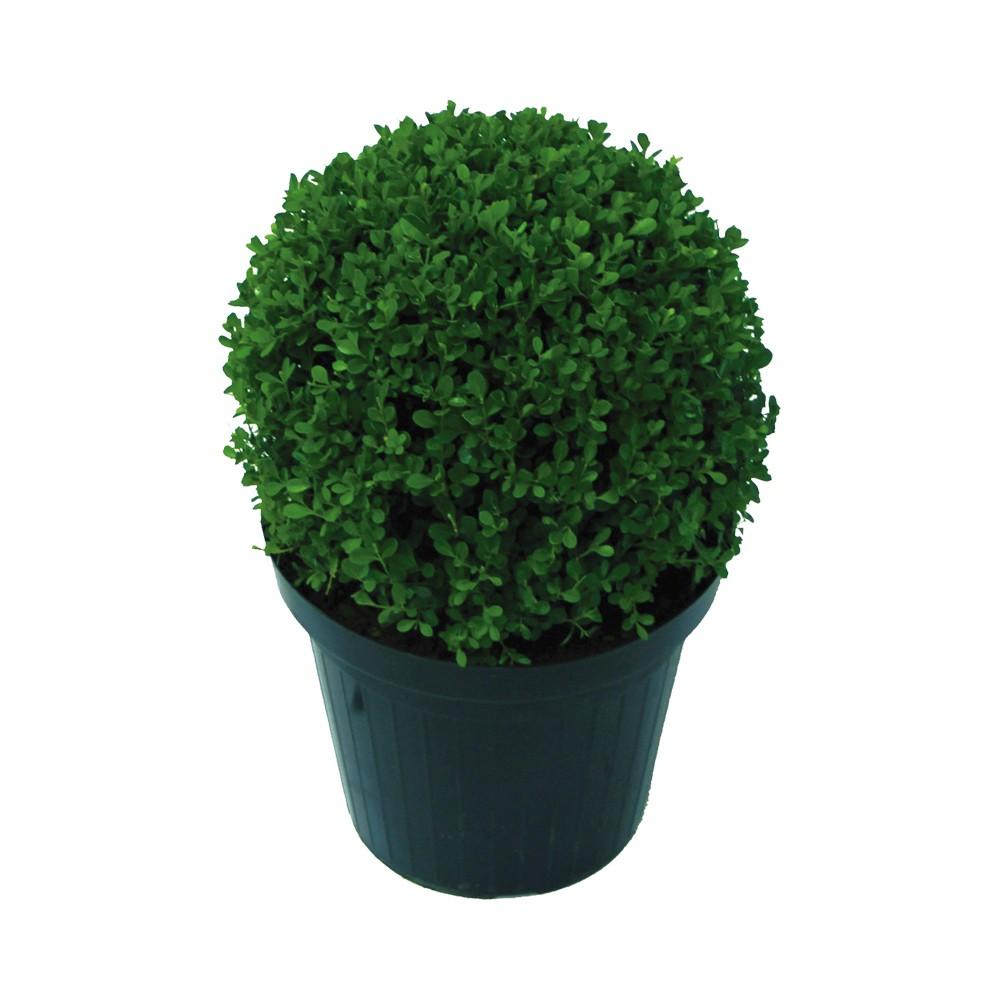 Buxinho - Buxus Serpenvirens