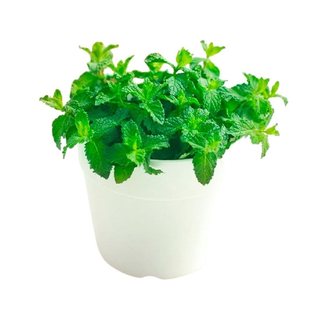 Hortelã - Mentha spicata