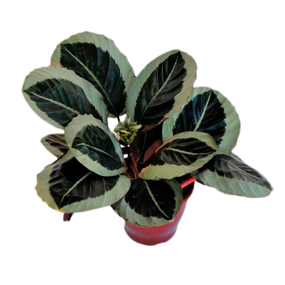 Maranta - Marantha arundinacea