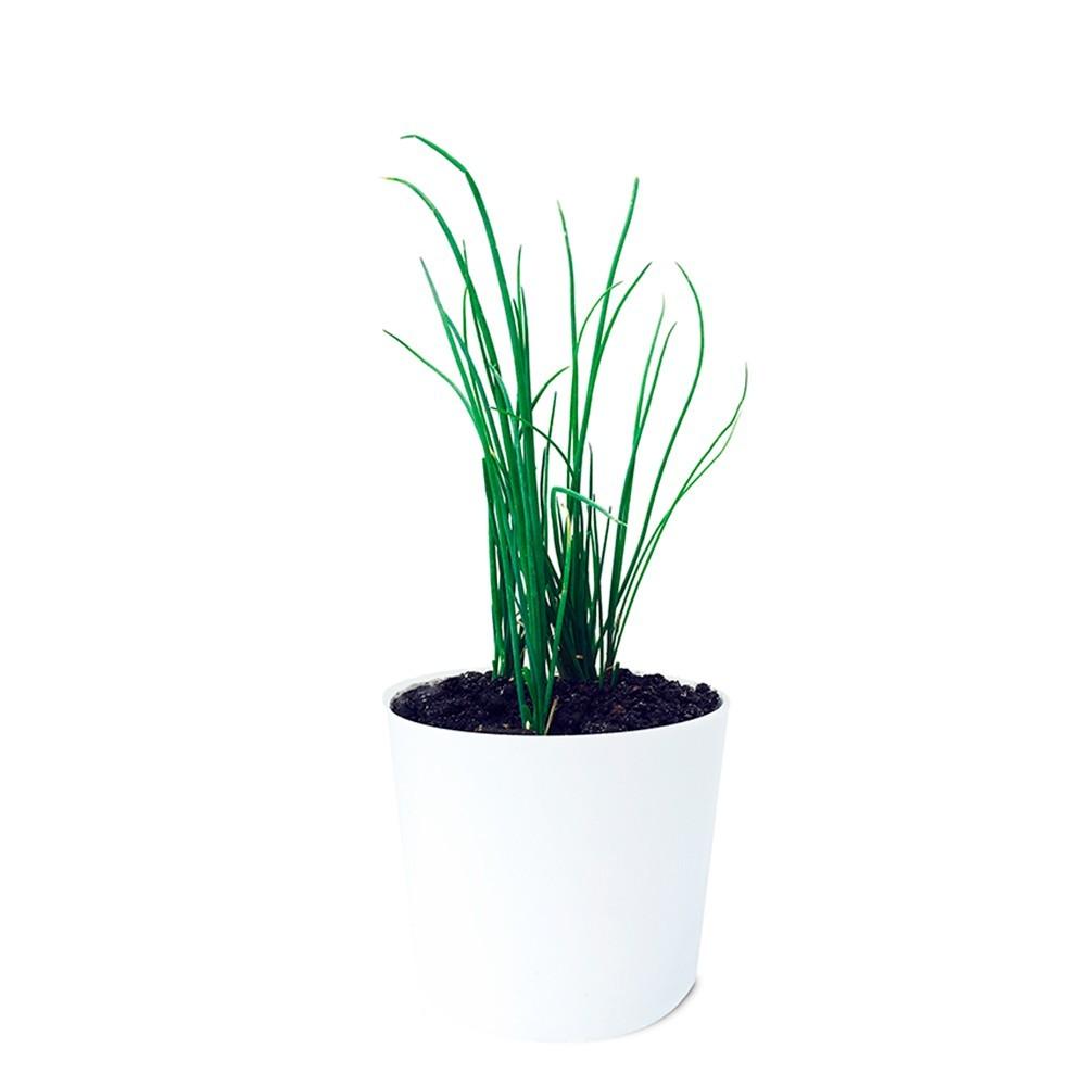 Muda de Cebolinha - Allium fistulosum