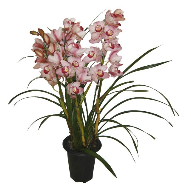 Orquidea - Cymbidium